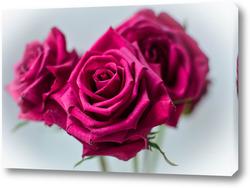 Постер Розовые розы